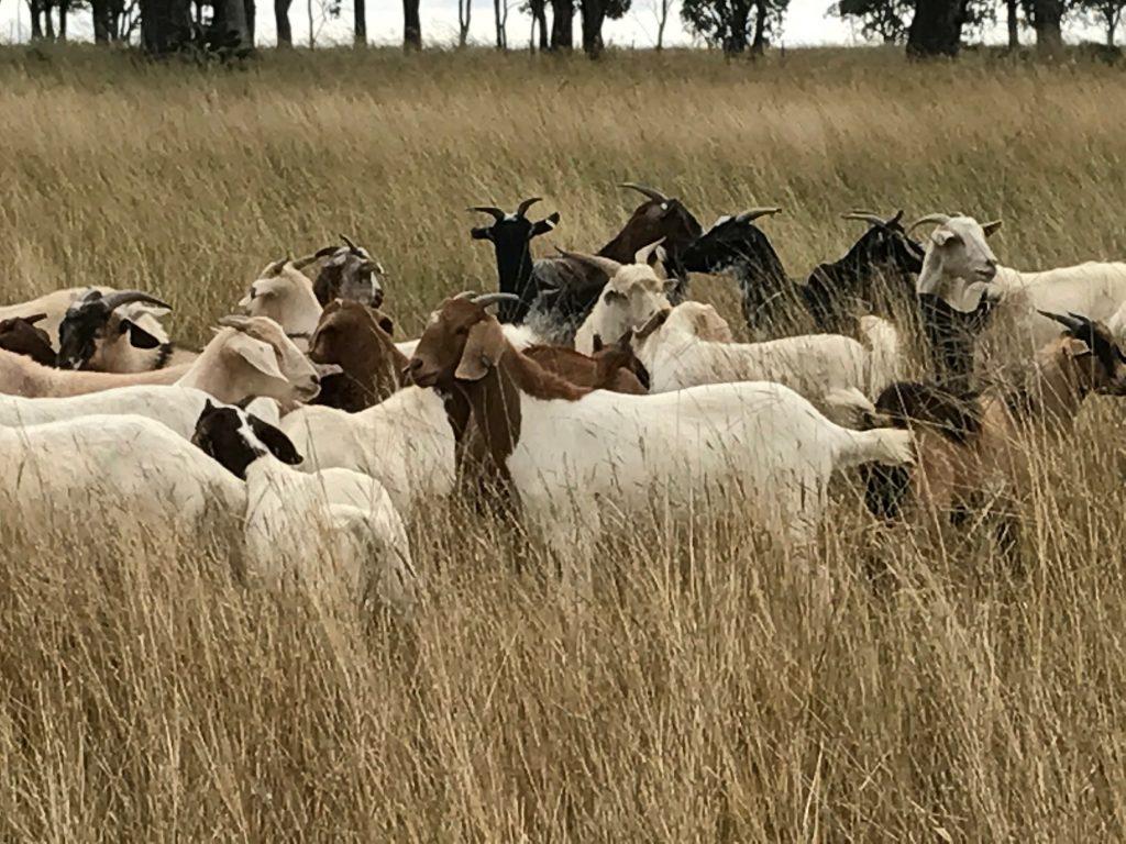 free range goat meat