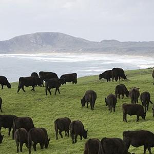 Cape Grim cows 2