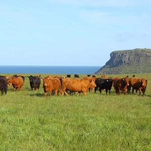 Cape Grim cows