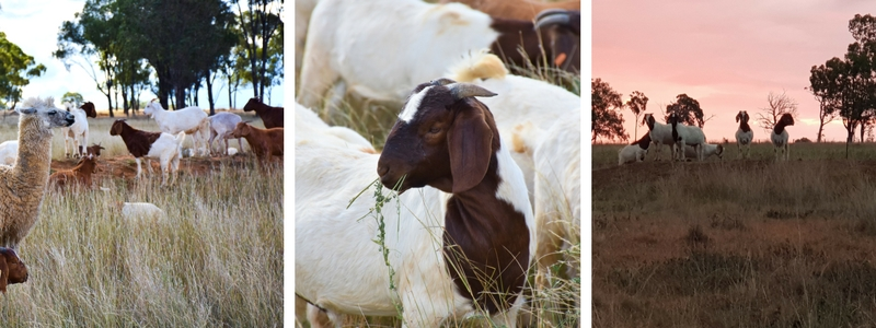 Fresh Goat Meat | Free Range Pastured Goat | MEAT AT BILLY'S