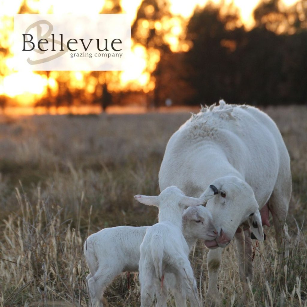 Bellevue Prime Dorper Lamb featured image